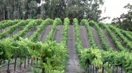 Stock Video Footage of Hillside Vineyard