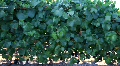 Vineyard Grapes Close Drive By Footage