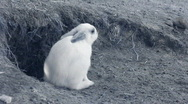 Infrared fauna: baby rabbit washing in a sand 2 Stock Footage