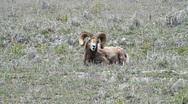 Ram sheep wildlife P HD 1264 Stock Footage