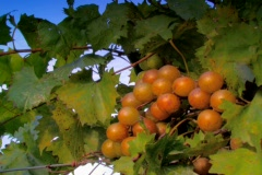 Cluster of Golden wine grapes in summer evening sun Stock Footage