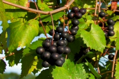 Ripe Clusters of purple wine grapes in breeze Stock Footage