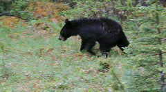 Black bear in forest British Columbia Canada HD Stock Footage