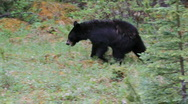 Black bear in forest P HD 1295 Stock Footage