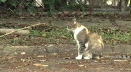 Stock Video Footage of Gata - Bad Street Cat Scratches Head