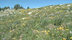 P01187 Alpine Wildflowers Stock Footage