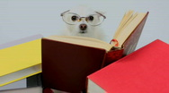 Stock Video Footage of Speed-Reading Dog