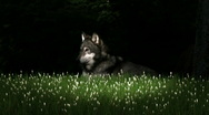Gray Wolf in the Grass 4 Stock Footage