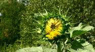 Stock Video Footage of not dismissed sunflower