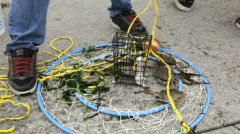 Crabs Released-Big Web Stock Footage