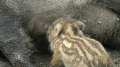 Wild boar baby Stock Footage