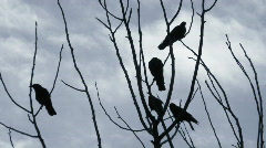 crows perched in bare tree - stock footage