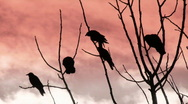 Stock Video Footage of crows perched in bare tree