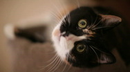 Stock Video Footage of cat cry shallow depth of field