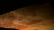 Bats Fly At Sunset Time Lapse Stock Footage