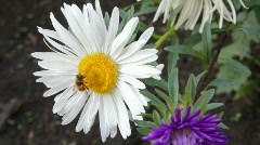 Bee on aster flower Stock Footage