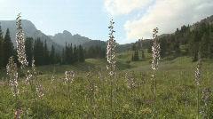 P01161 Wildflowers in Alpine Area Stock Footage