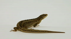 lizard - stock footage