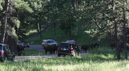 Stock Video Footage of Buffalo in the Black Hills, South Dakota.