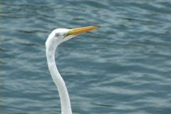 Egret Head Stock Footage