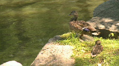Duck & duckling preen by water (4 of 5) Stock Footage