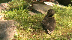 Duckling preens by a pond Stock Footage