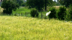 Field of young grain - stock footage