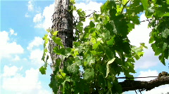 Vine in the wind Stock Footage