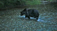 Grizzly bear hunting in river p HD 0325 Stock Footage
