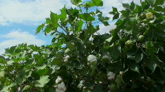 Cotton Crop Farmhand Stock Footage