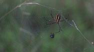 Garden Spider on Web HD Stock Footage
