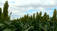 Sorghum Grain Field Plants Close Up Time Lapse - stock footage