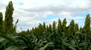 Sorghum Grain Field Plants Close Up Time Lapse Stock Footage