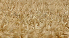 Wheat in wind close up Stock Footage