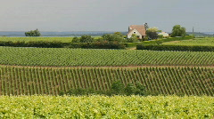 Vineyard in july 2 Stock Footage