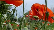 Field poppy Stock Footage