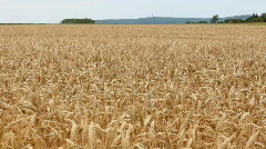 Wheat in wind 2 Stock Footage