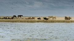Domestic animals on sandy beach - stock footage