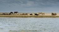Domestic animals on sandy beach Stock Footage