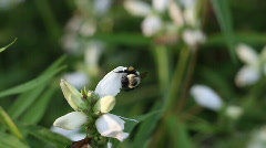 Bee Gathering Nectar HD Stock Footage