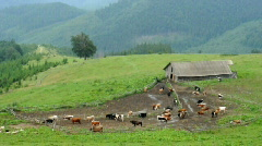 Cows grazing on farm in mountains Stock Footage