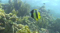 Tropical fish close to coral reef Footage