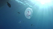 Stock Video Footage of Jellyfish and sunrays