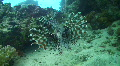 Lion fish - rear view Footage
