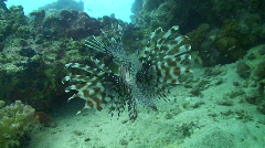 Lion fish - rear view Stock Footage