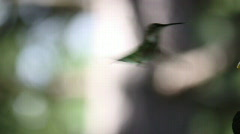 Ruby-throated Hummingbird female half speed  Stock Footage