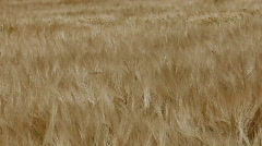 Barley in wind 2 Stock Footage