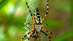 Black and Yellow Garden Spider Eating an Insect Stock Footage