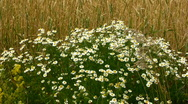 Field and camomile Stock Footage