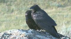 P01157 Yellowstone Ravens on Rock Stock Footage